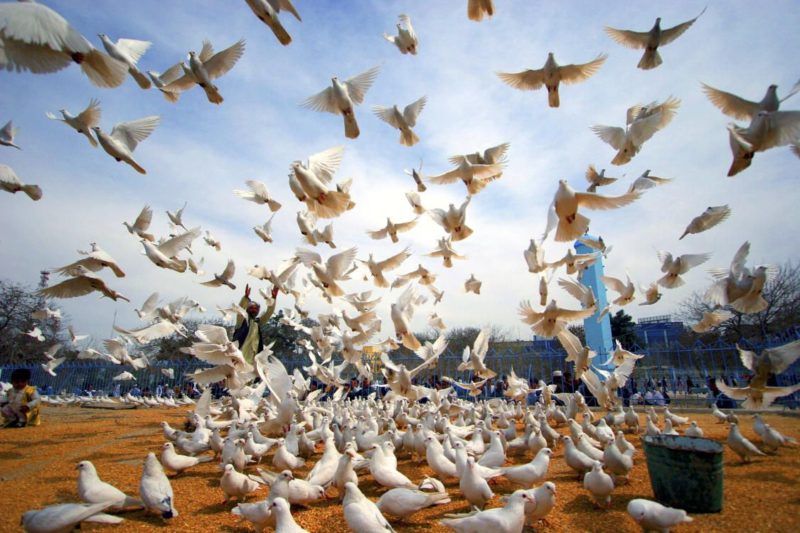 Peace doves fly on the grounds of the historic Hazrat-i-Ali mosque, in the city of Mazar-i-Sharif, Afghanistan. The doves are part of a campaign launched by the United Nations Assistance Mission in Afghanistan (UNAMA) in observance of the International Day of Peace.